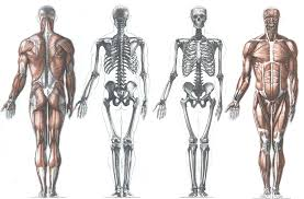 Human Anatomy Muscle Back View Of The Male Skeleton With Some Of The Cartilages And