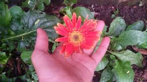 gerbera plant how to grow gerbera daisies wikihow