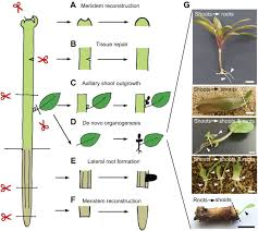 plant regeneration cellular origins and molecular mechanisms
