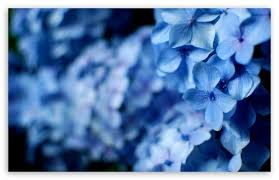blue hydrangea flowers 4k hd desktop wallpaper for 4k ultra hd