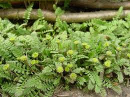 buy ornamental plants new zealand brass buttons leafy