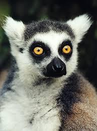 Lemur Meme - b3takit lemur eyes