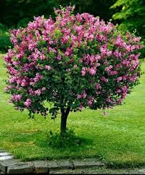 13 best ornamental trees images on plants branches