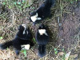 pest of the month skunks anti pest
