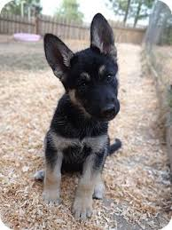 belgian sheepdog oregon lucy adopted puppy salem or husky german shepherd dog mix