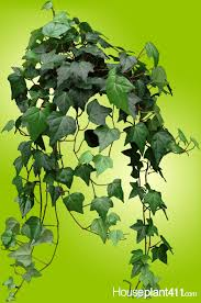 crisp brown leaves on english ivy houseplants mean plant is over