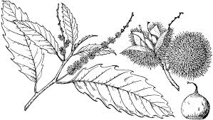 branch of american chestnut clipart etc