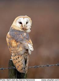 Scientific Name Of Barn Owl Barn Owls Tyto Alba Uk Safari