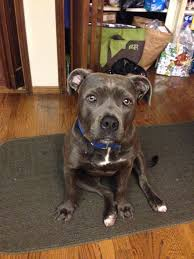 american pitbull terrier c 3 answers are tiger striped pit bulls a different pit bull breed