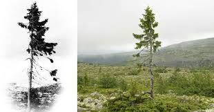 9 500 year tree found in sweden is the world s oldest tree