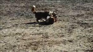 australian shepherd b c border collie races australian shepherd winner is youtube