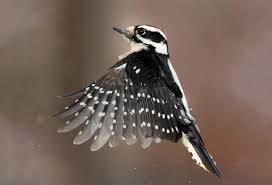 what do woodpeckers eat