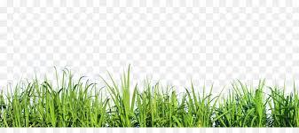 mexican feathergrass lawn silvergrass ornamental grass grass