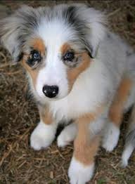 1 year old toy australian shepherd the cutest toy aussie pups i have ever seen i want one animals