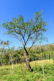 woodland mahogany tree saplings stock image image 87461361