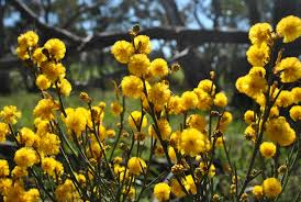 native plants south australia where to find wildflowers in south australia good living