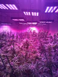 best led grow lights for marijuana led grow lights for cannabis and clones photo gallery
