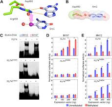 dna methylation presents distinct binding sites for human
