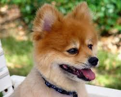pomeranian x bichon frise sale adorable mini pomeranian puppies for sale picture dog breeders guide