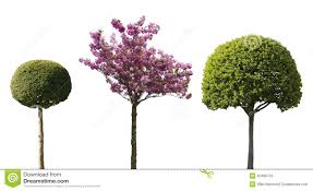 ornamental isolated trees stock photo image of different 40406742