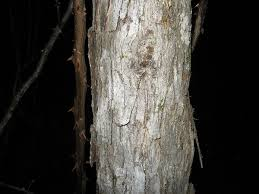 White Oak Tree Bark Bark