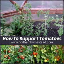 how to support tomatoes northern homestead