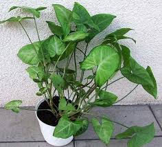 syngonium podophyllum nephthytis arrow head plant goosefoot