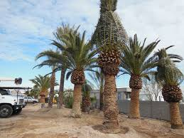 palm trees for sale affordable tree service las vegas nv
