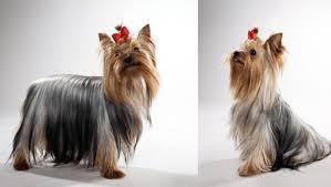 affenpinscher animal planet yorkshire terrier dog breed selector animal planet