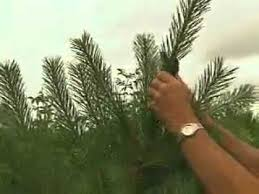 gardening in the zone growing christmas trees youtube