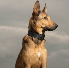 belgian malinois insurance learn about the belgian malinois dog breed from a trusted veterinarian