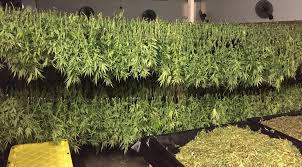 Wildfire Weed by Cgrowth Capital Inc Cgra Stock Message Board Investorshub