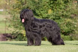 Is Night Blindness Hereditary Congenital Stationary Night Blindness Csnb In Briard Dogs