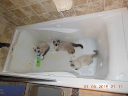 Cat In Bathtub Pictures Of Ragdoll Cats In Bathtubs