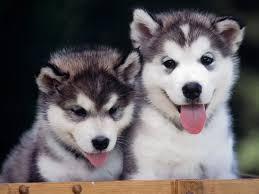 pomeranian x bichon frise sale adorable mini pomeranian puppies image dog breeders guide