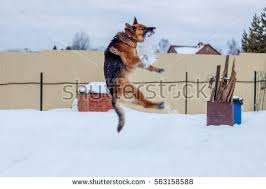 belgian shepherd jumping dog fence jumping stock images royalty free images u0026 vectors