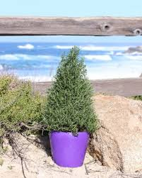 Live Topiary Tree - amazon com live rosemary 20