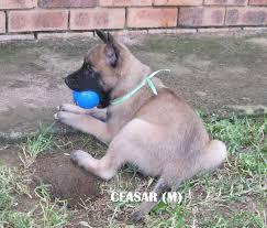 belgian shepherd breeders south africa belgian shepherd malinois puppies for sale parys public ads