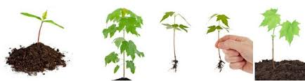 japanese maple trees seedlings for sale wholesale