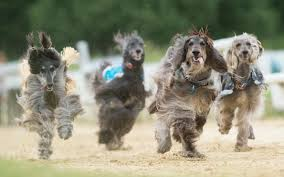 afghan hound owner reviews afghan hound racers prove there u0027s more to the breed than luxuriant fur