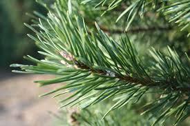 buy real balsam fir trees tree express