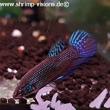 Buy Ornamental Fish Smaragd Kffisch Betta Smaragdina Dnz Buy Ornamental Fish