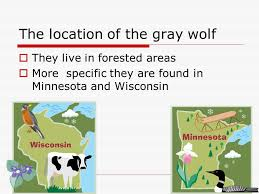 Wisconsin where to travel in december images Gray wolf by hannah pape 5hinshaw december the gray wolf is my jpg