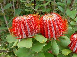 best australian native plants banksia praemorsa red google search flowers u0026 plants