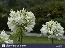 garden gardens of india white flowers bunch of white flowers