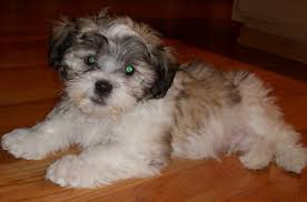 how to cut a shichon s hair shichon teddy bear shih tzu bichon mix info temperament