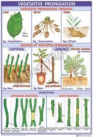 Vegetative Propagation By Roots - victory graphik bi 11 vegetative propagation in plants