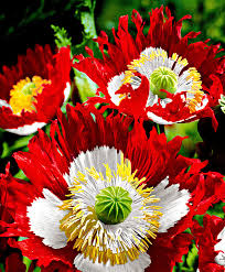 buy flower seed now opium poppy u0027danish flag u0027 bakker com