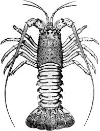 spiny lobster clipart u2013 gclipart com
