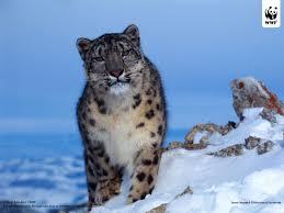 Photos Of Snow Snow Leopard Wwf